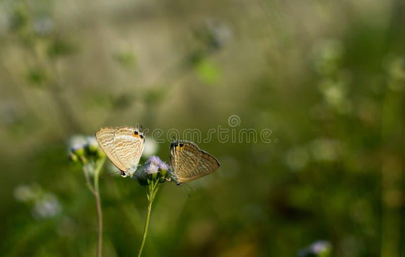 Länge tailed blå fjäril på Ageratumconyzoides arkivfoto