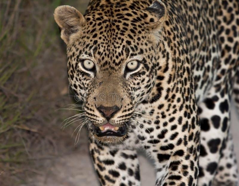 längs att gå för leopardnattväg arkivbilder