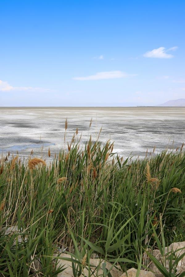 längs den salt stora laken för cattails royaltyfri fotografi