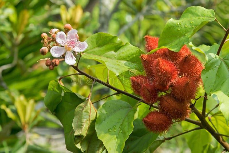 Läppstiftträdet, Achiote rosa färgblommor och kärnar ur fröskidor i den röda Bixa nollan arkivbild