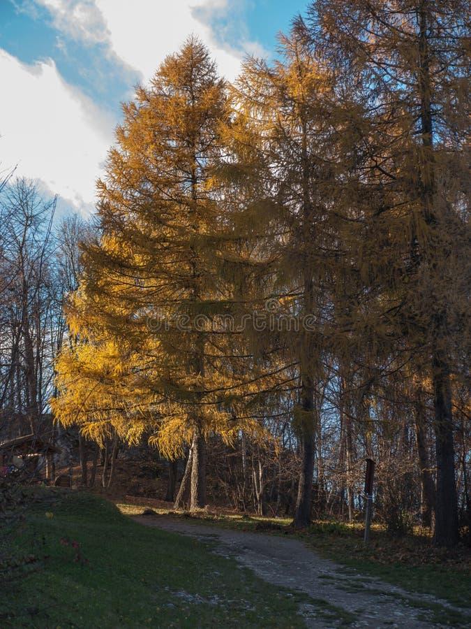 Lärche im Herbst mit gelben Nadeln stockfotos