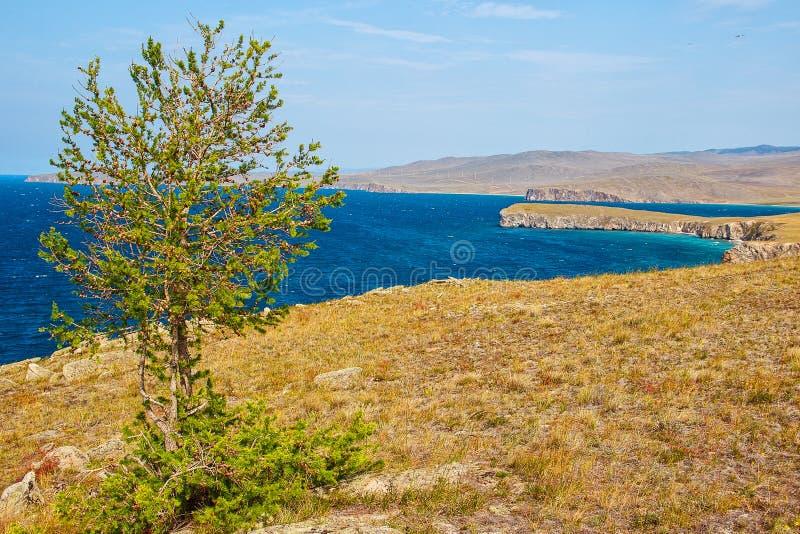 Lärche und der Baikalsee im Sommer, die Insel von Olkhon lizenzfreies stockfoto