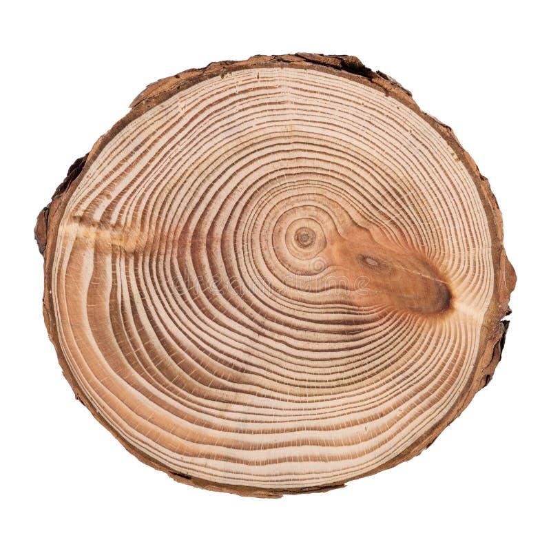 Lärchenquerschnitt des Baumstammes die Ringe zeigend lokalisiert auf weißem Hintergrund stockbild