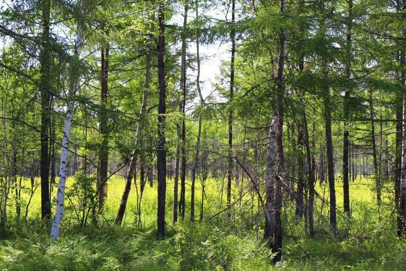 Lärchenwald an einem hellen sonnigen Nachmittag/ stockfotografie