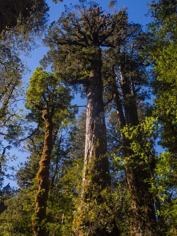 Lärken i Anderna spänner, det stora trädet i patagonia royaltyfri fotografi