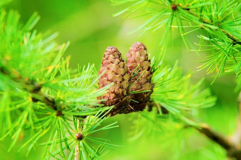 Lärkkottar Den europeiska lärken Larix decidua maler filialer med kärnar ur kottar och lövverk på lärkträdet som växer i skog arkivfoto