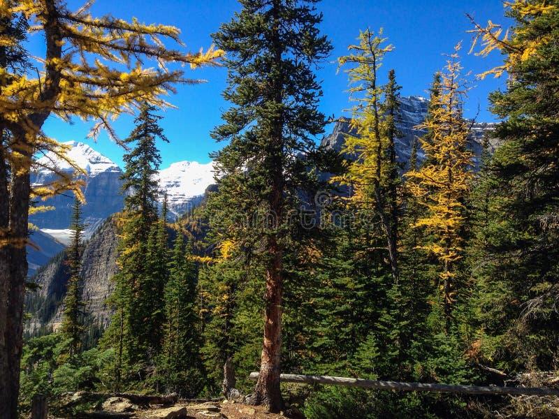 Lärkträd i Banff NP arkivfoto