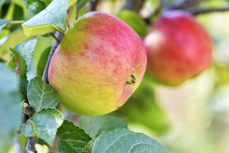 Läs äpplen på äppleträdfilial royaltyfria foton