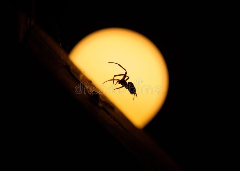 Läskig banhoppningspindel framme av månen på natten royaltyfri foto
