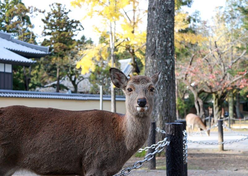 Lässt stehendes Hintergrundgelb der Rotwild Herbstbaum am Park in Nara, Japan stockfotografie