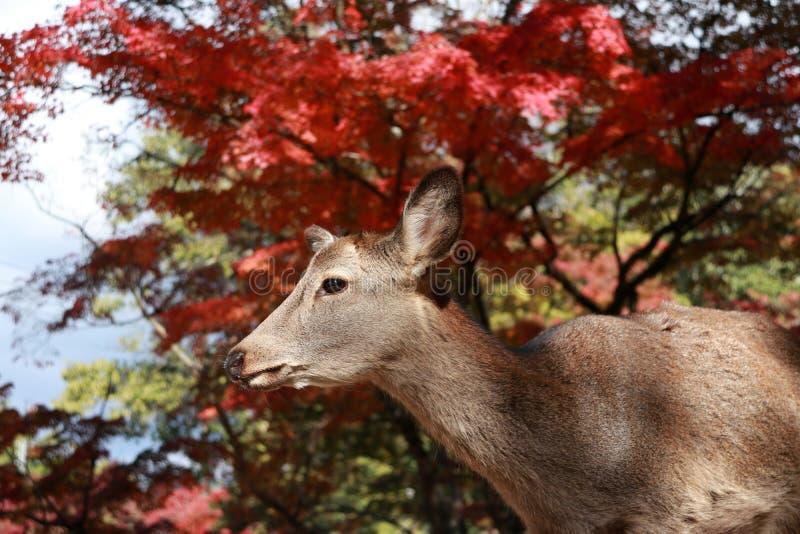 Lässt stehendes Hintergrundrot der Rotwild Herbstbaum am Park in Nara, Japan stockfoto