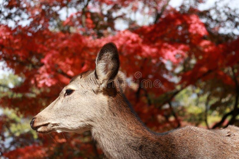 Lässt stehendes Hintergrundrot der Rotwild Herbstbaum am Park in Nara, Japan stockbild