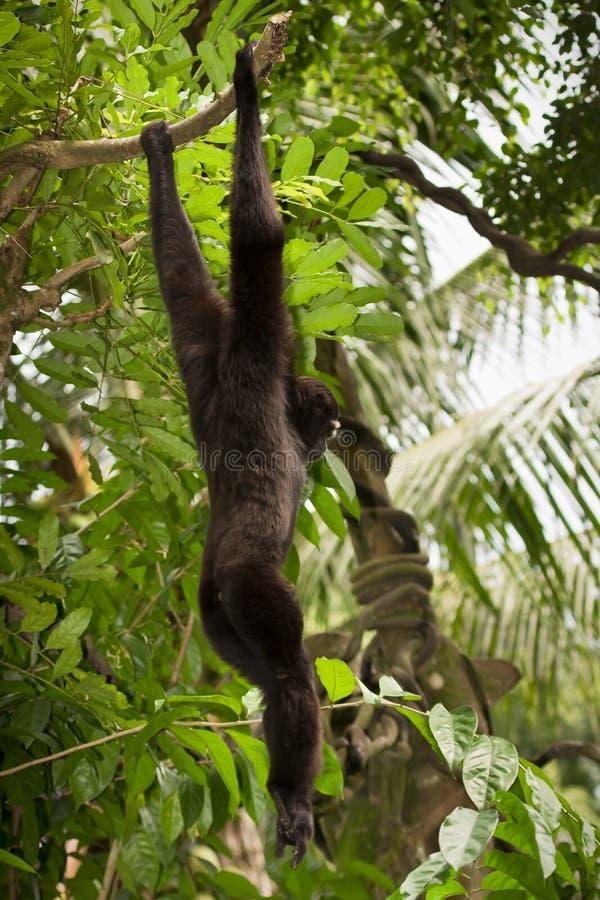lättrörlig gibbon arkivfoto