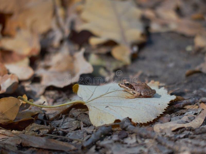 Lättrörlig groda eller Ranadalmatina arkivfoto