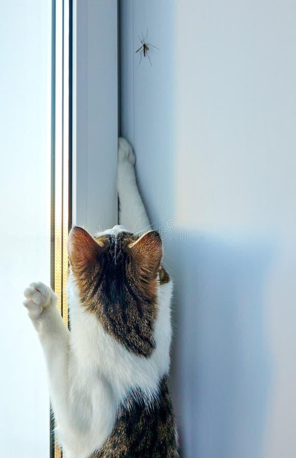 Lättrörlig katt som försöker att fånga den stora myggan på fönsterbrädan nära fönster royaltyfria bilder