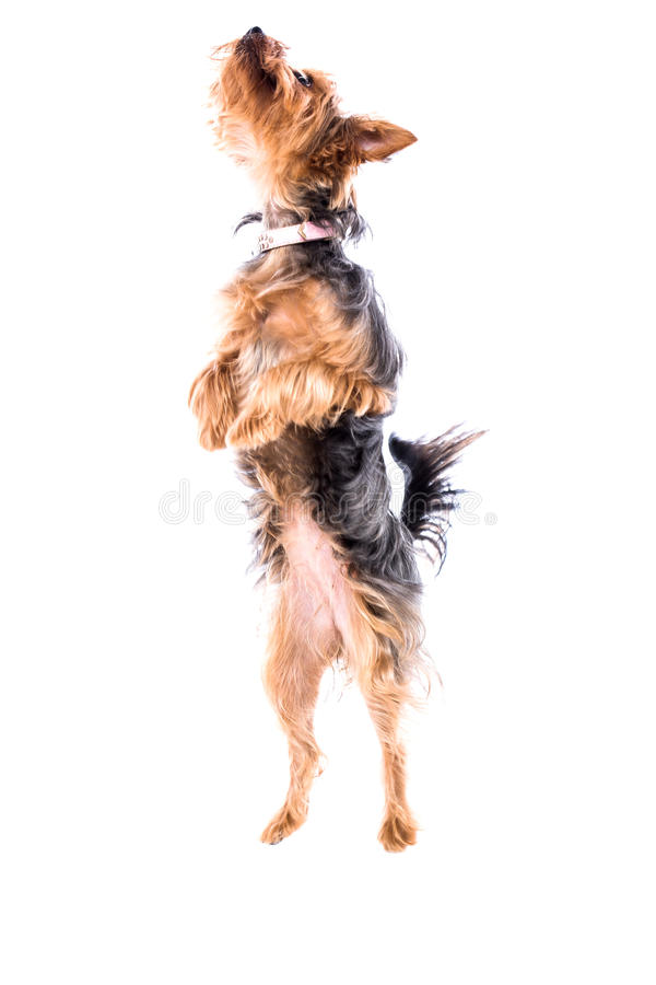 Lättrörlig liten Yorkie eller Yorkshire terrier royaltyfri foto
