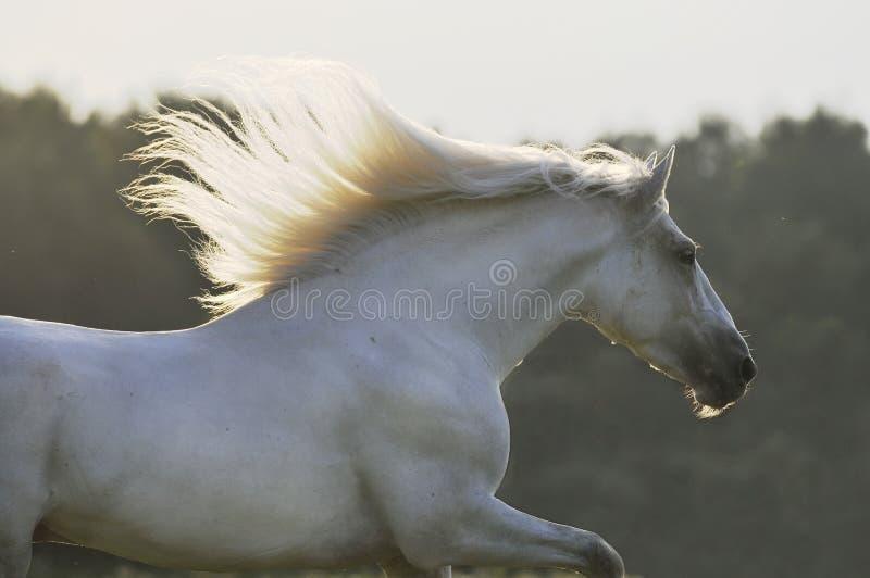 Läufergalopp des weißen Pferds stockfotos