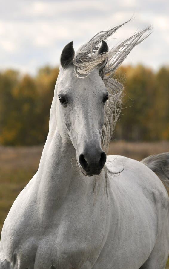 Läufergalopp des weißen Pferds im Herbst lizenzfreie stockfotos