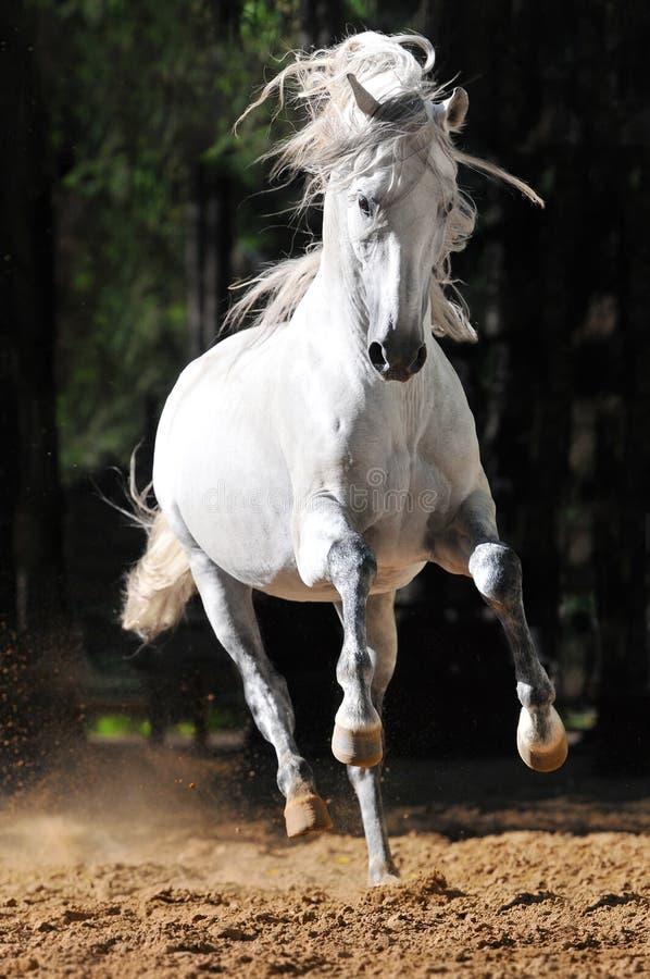 Läufergalopp des weißen Pferds im Sand stockfoto
