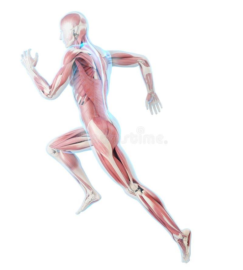Läufermuskeln lizenzfreie abbildung