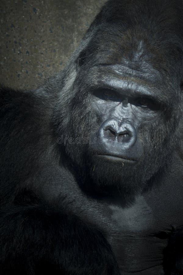 Download Låg tangent för gorilla arkivfoto. Bild av primat, lågt - 27281648