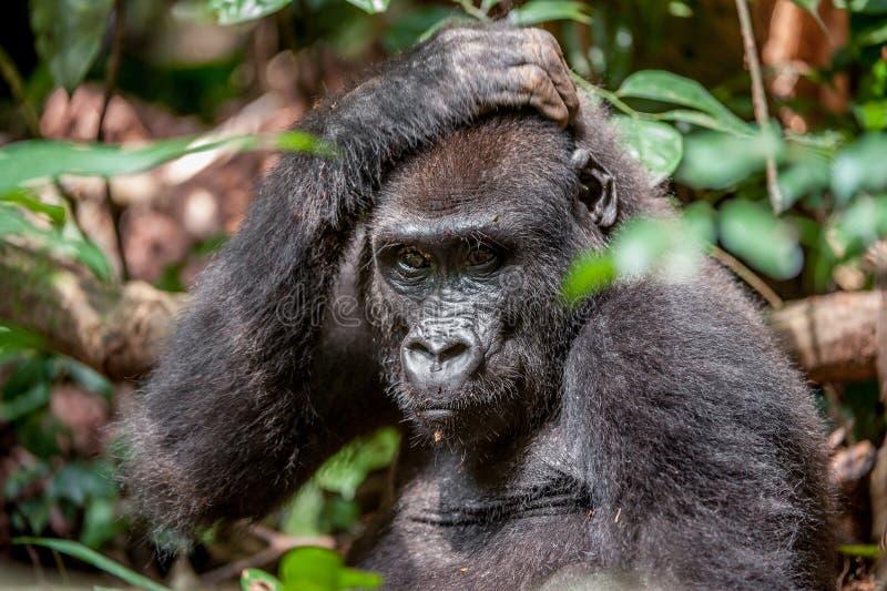 Låglandgorilla i djungelKongofloden Stående av ett slut för gorilla för västra lågland (gorillagorillagorilla) upp på ett kort av royaltyfri foto