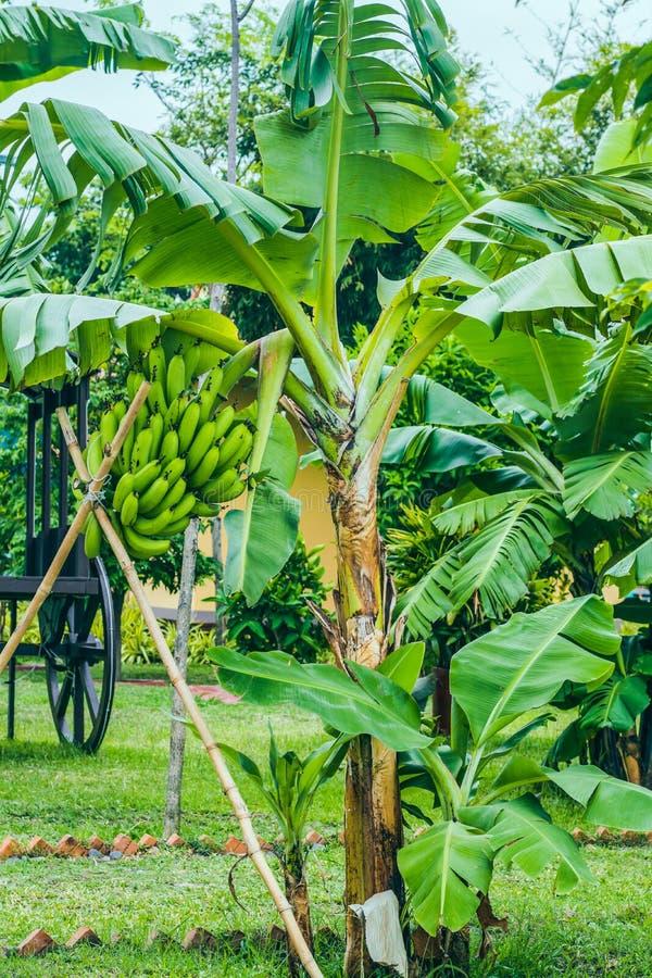 Lågt träd med bananer royaltyfria foton