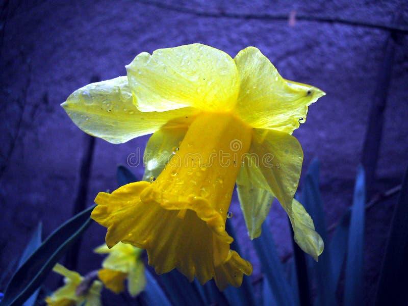 lånad lilja arkivfoto