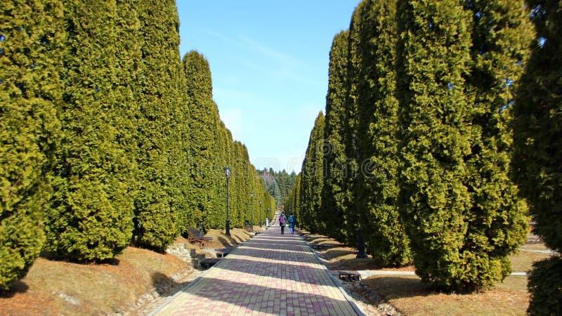 Lång cypress, thujagränd royaltyfri fotografi