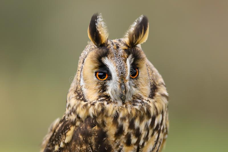 Lång gå i ax Owl Asio otus UK royaltyfri bild