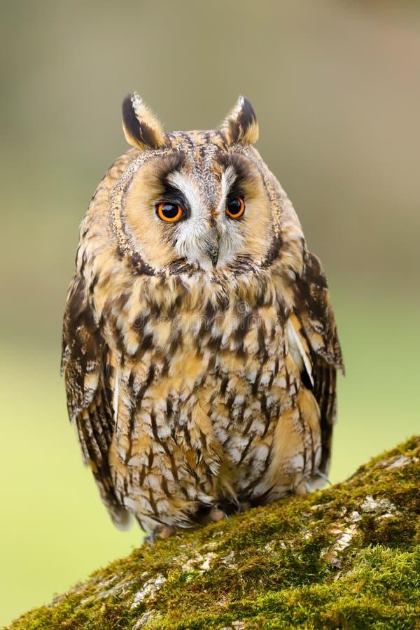 Lång gå i ax Owl Asio otus UK royaltyfria bilder