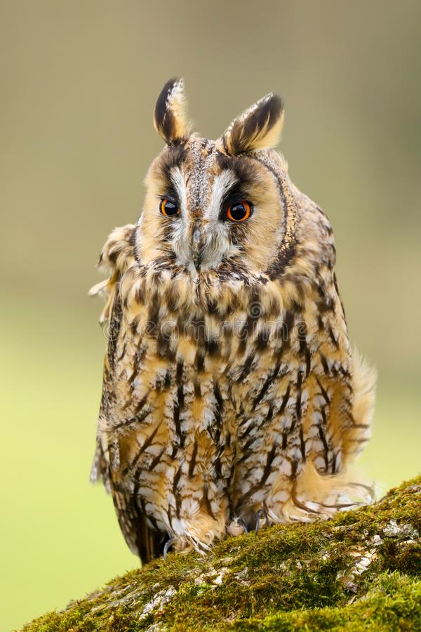 Lång gå i ax Owl Asio otus UK arkivbilder