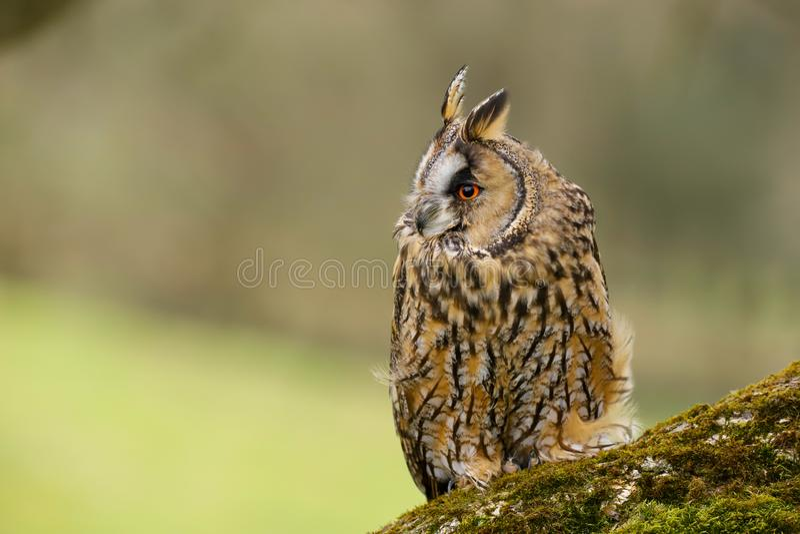 Lång gå i ax Owl Asio otus UK royaltyfri fotografi