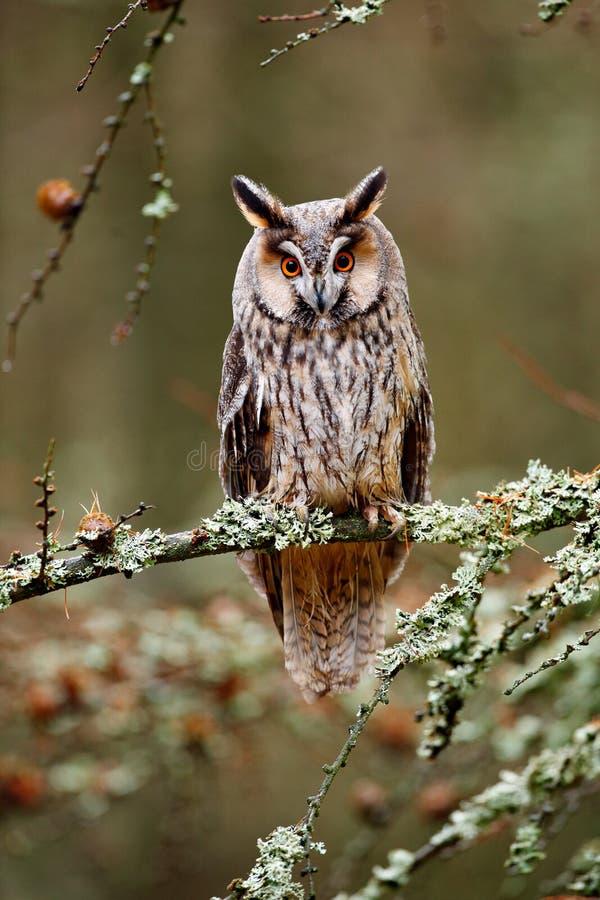 Lång-gå i ax ugglasammanträde på filialen i den stupade lärkskogen under höst Uggla i den wood naturlivsmiljön för natur Fågelsam royaltyfri foto