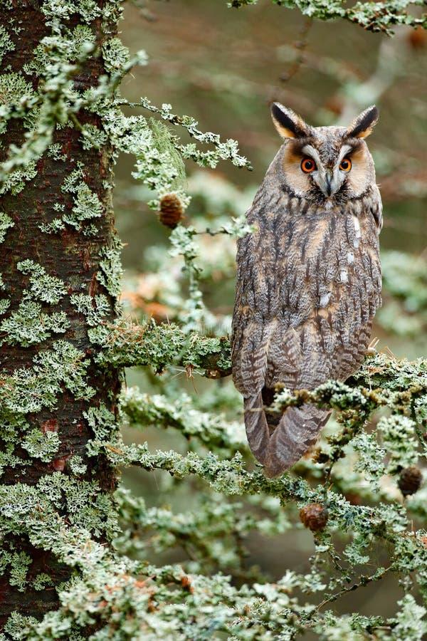 Lång-gå i ax ugglasammanträde på filialen i den stupade lärkskogen under höst Uggla i den wood naturlivsmiljön för natur Fågelsam arkivfoton