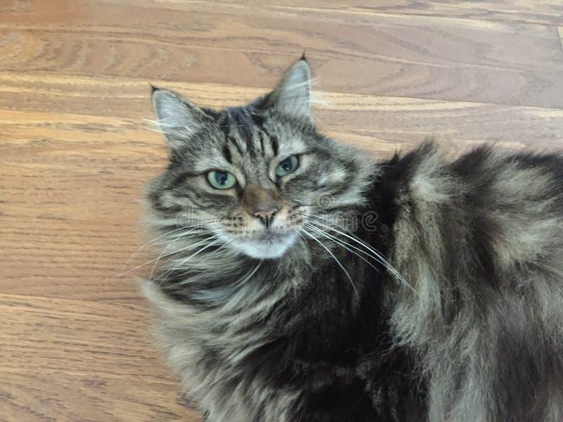 Lång haired delMaine Coon katt royaltyfri bild