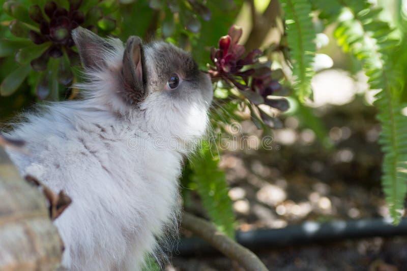 Lång Haired kanin fotografering för bildbyråer