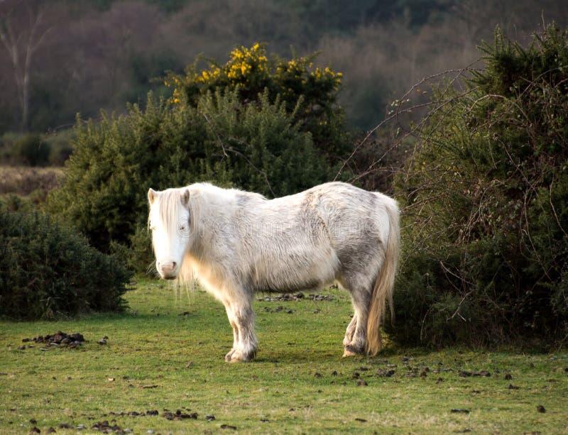 Lång haired vit ny skogponny, Hampshire, UK fotografering för bildbyråer