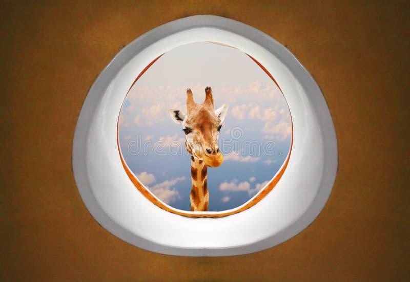 Lång halsgiraff som ser hotrafikflygplanfönstret royaltyfria foton