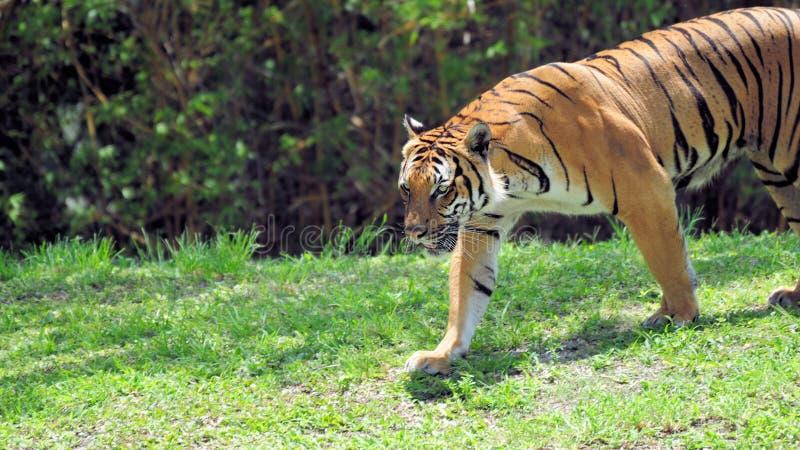 Lång manlig tiger royaltyfria bilder