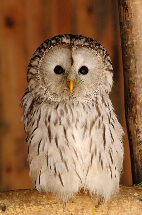 lång owlsvan royaltyfria foton