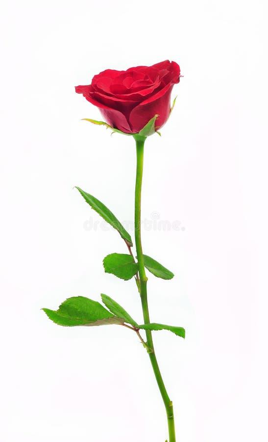 lång rose stem arkivbilder