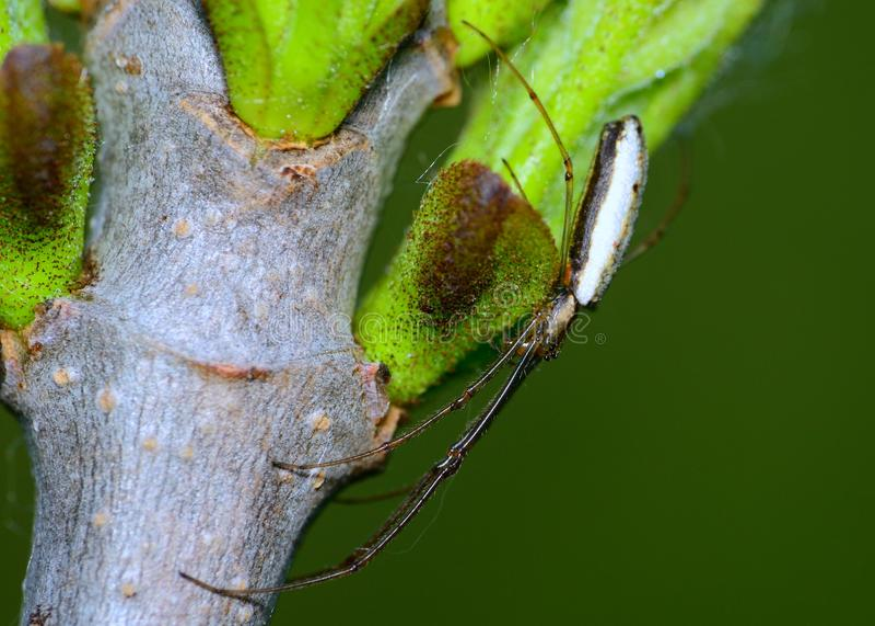 Lång-snackad Orb Weaver Spider arkivbilder