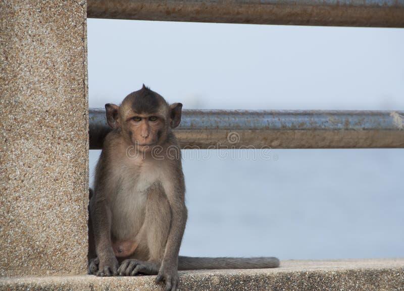 Lång Tailed Macaque eller krabba som äter MacaqueMacacaFascicularis den tropiska apan arkivbilder