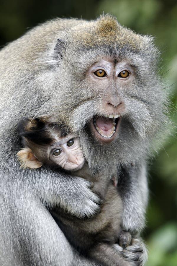 Lång-tailed macaque, Macacafascicularis fotografering för bildbyråer