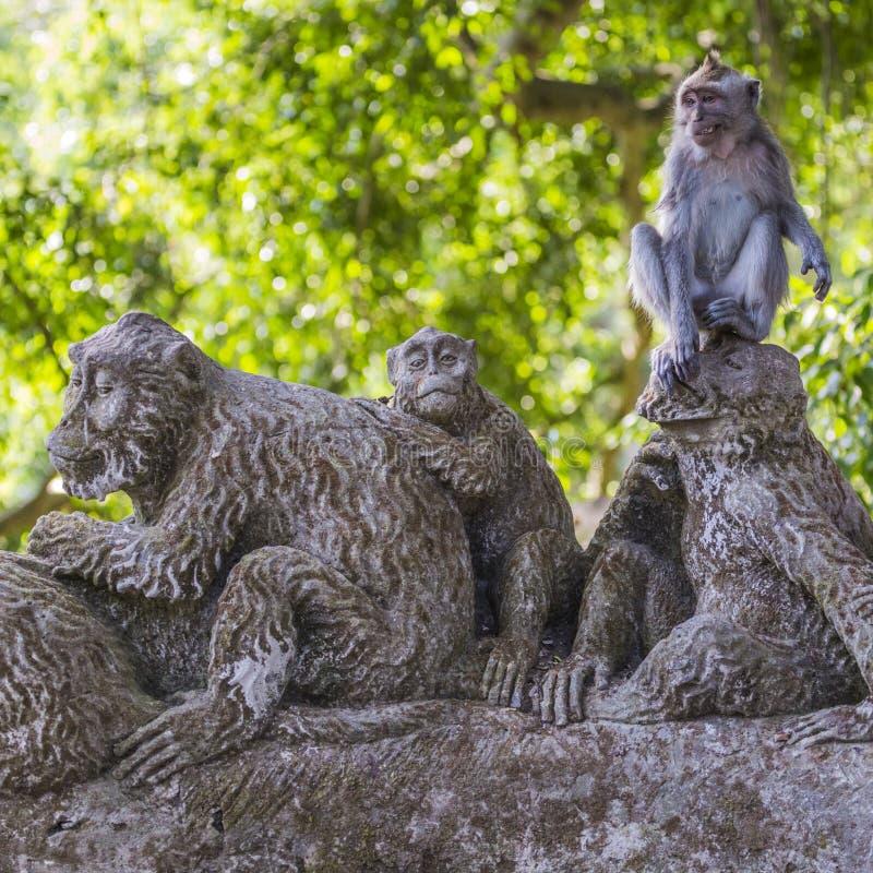 Lång-tailed macaque (Macacafascicularis) i sakral apaskog arkivbild