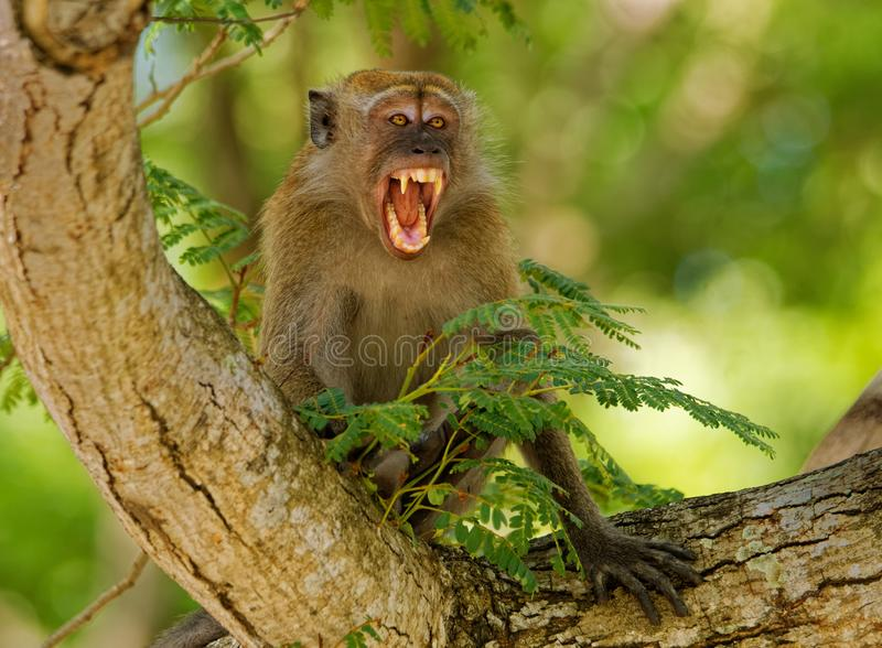 Lång-tailed Macaque - Macacafascicularis också som är bekanta som denäta macaquen, en cercopithecineprimatinföding till South Eas royaltyfri foto
