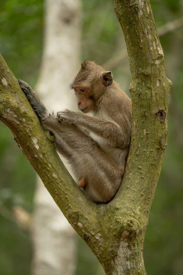 Lång-tailed macaque som ansar sig i delat träd arkivbilder