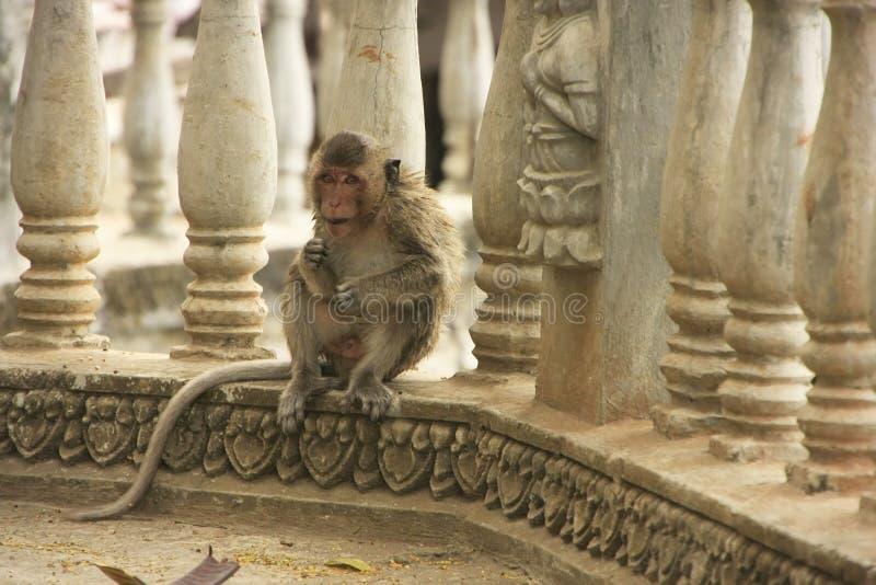 Lång-tailed macaque som spelar på Phnom Sampeau, Battambang, Cambod royaltyfria bilder