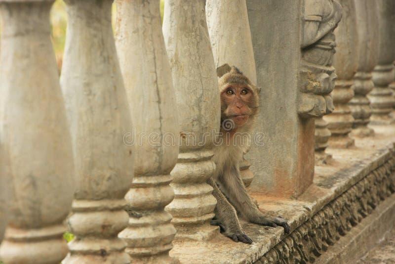 Lång-tailed macaque som spelar på Phnom Sampeau, Battambang, Cambod fotografering för bildbyråer